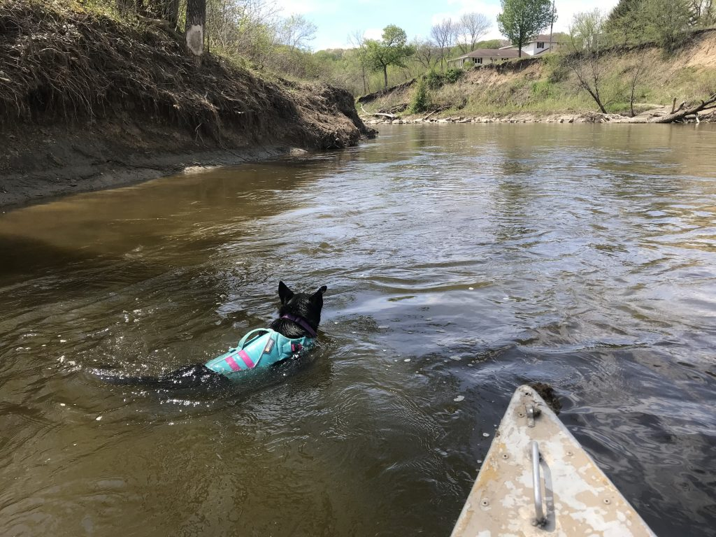 Luna swims in front of the canoe in the Le Sueur River. The river cuts to the left in the distance.