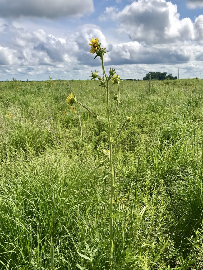 Maximilian's Sunflower at the Lincoln Waterfowl Production Area