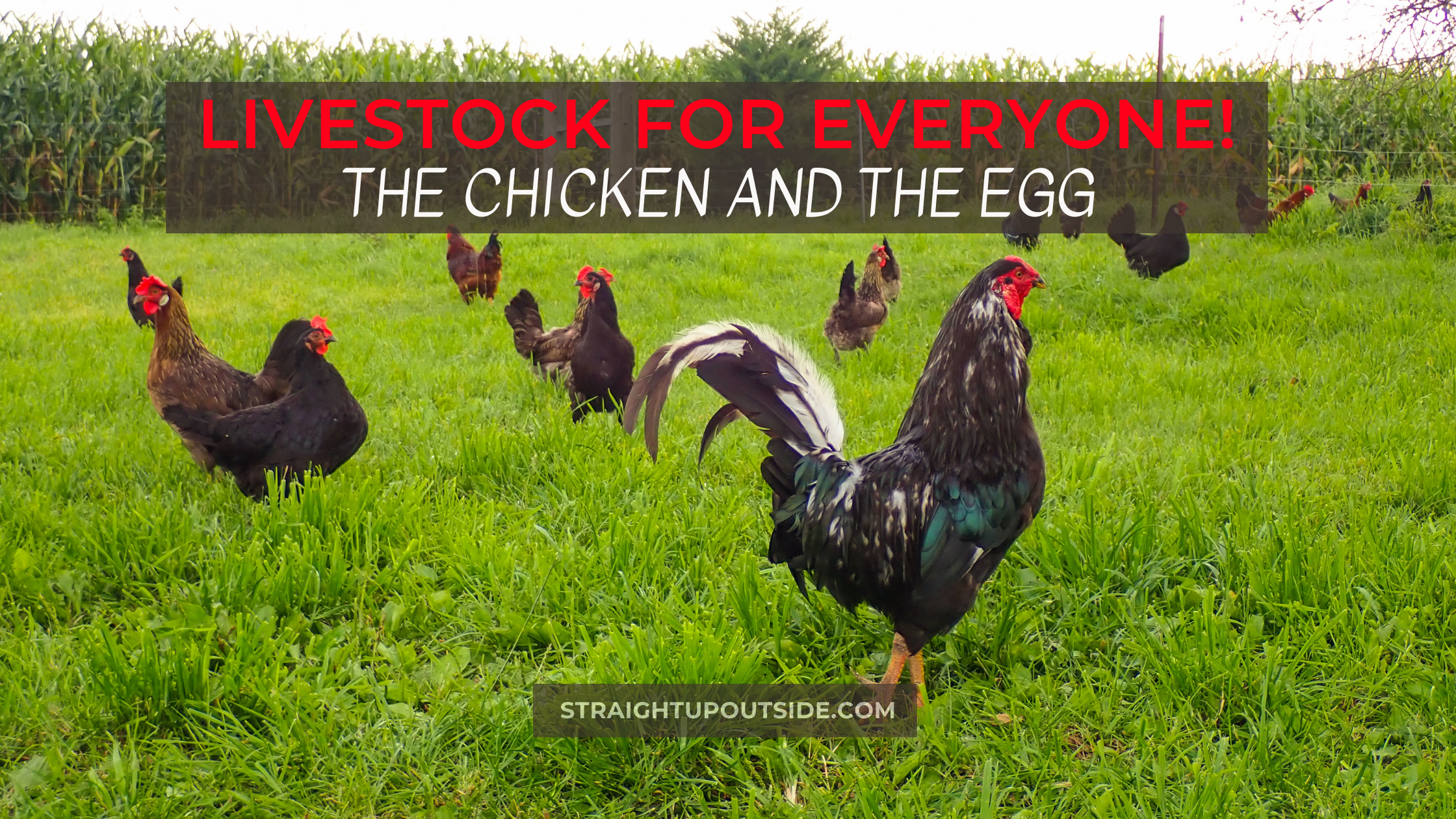 Livestock For Everyone! The Chicken and the Egg