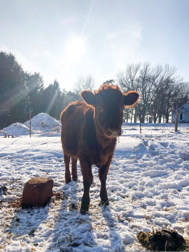 Cow stands in the middle of the poop covered snow. Sun setting in the background.