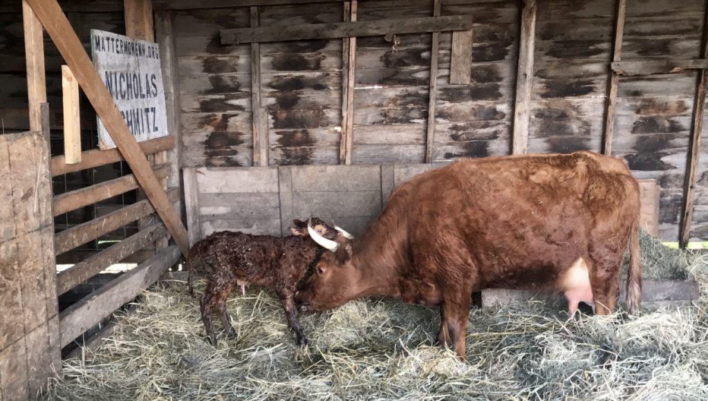 Dexter momma cow cleans her wet, newborn calf.