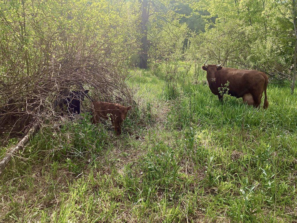 Calves stand under brush with mom nearby.
