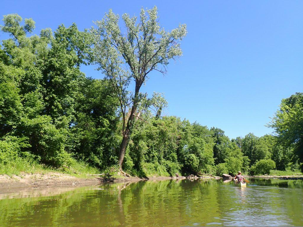 Large cottonwood tree on the riverside.