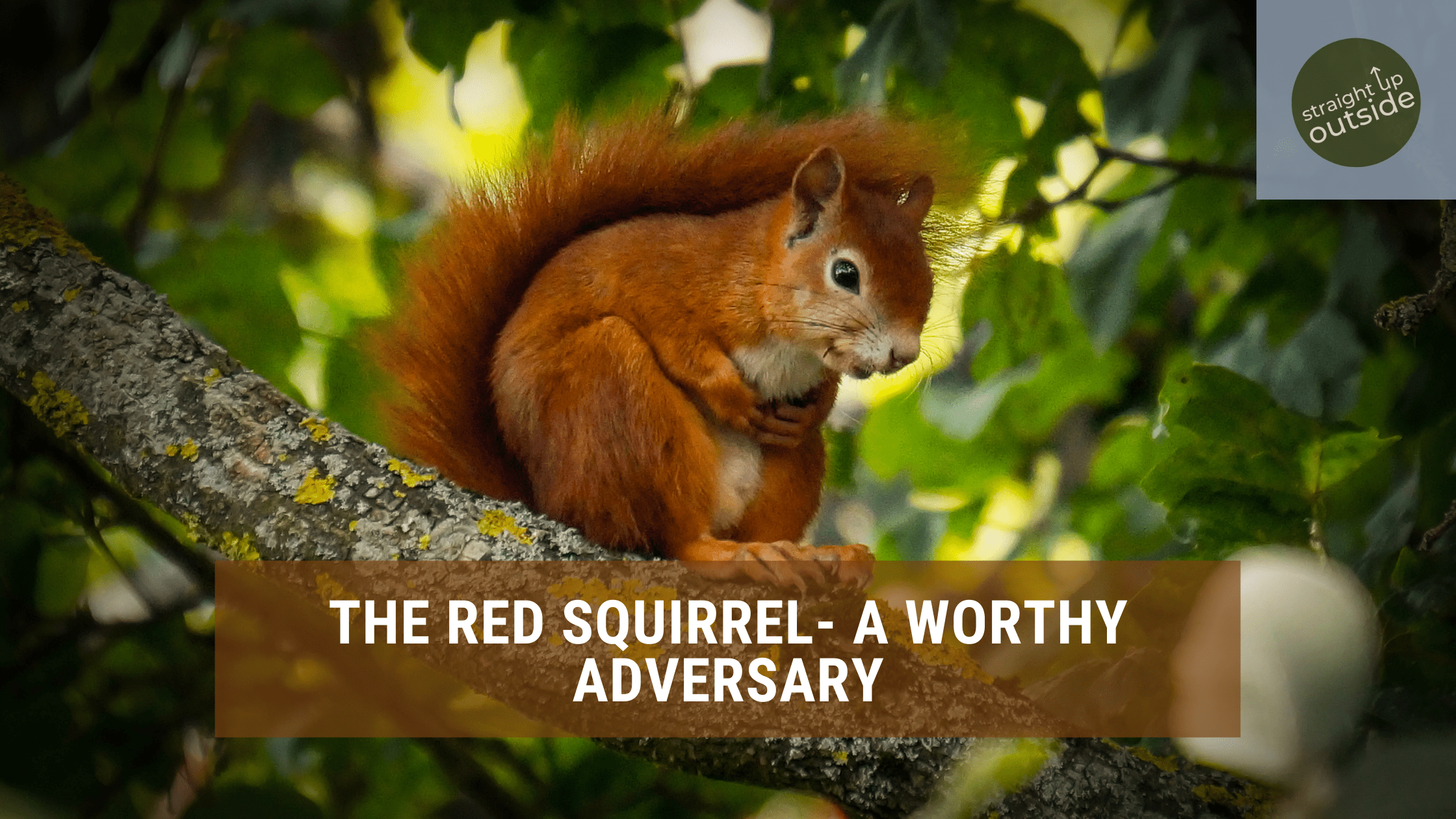 The Red Squirrel, A Worthy Adversary
