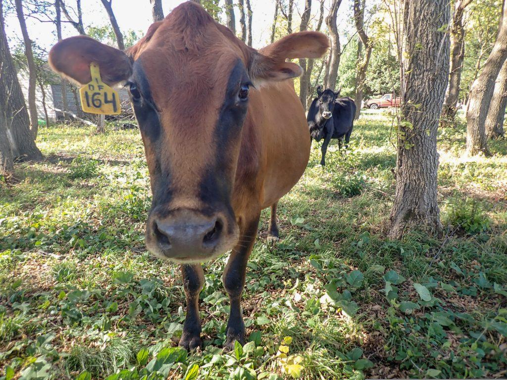 Dairy cow, Ronnie, standing in the pasture.
